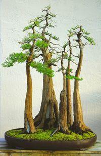 Bald Cypress (Taxodium distichum) Bonsai Tree.