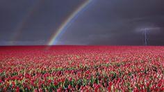 Rose Flower Field - Windows 10 Wallpapers