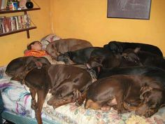Haha.... you have to love it! This is why we only have only Doberman :)