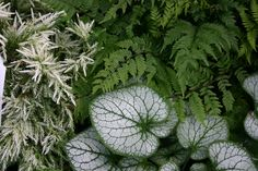 Love this frosty combination for shade. Cryptomeria japonica 'Knaptonensis' 'Autumn Brilliance' fern and Brunnera 'Jack Frost' Ferns, Plants, Garden, Foliage, Landscape Design, Trees And Shrubs, Partial Shade Plants, Japanese Maple Tree, Lady Fern
