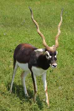 Blackbuck Antelope, by TheFly469.