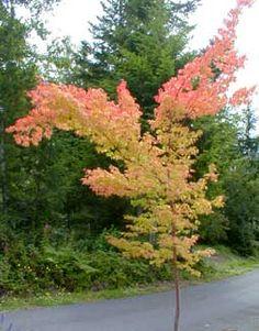 Coral bark japanese maple bonsai