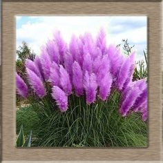 Pretty Flowers seed Rare Purple Pampas Grass Garden plant Flowers Cortaderia Selloana Flower seeds 20pcs