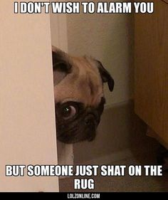 Peeking Pug Has Some Bad News #lol #haha #funny
