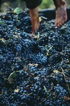 grape harvest, El Affroun, Walayat Province, Algeria. Photo: National Geographic
