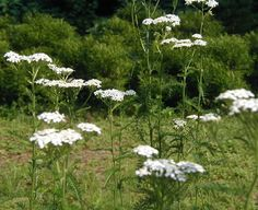 yarrow. A bridesmaid can hold one cluster.  I like the long stem.