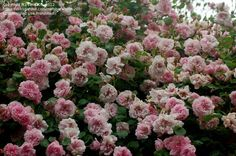 ... immagine Pieno di Hybrid Wichurana, Rambler Rose 'May Queen' ( Rosa