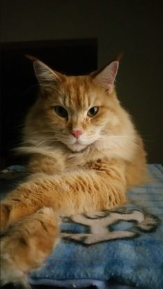 Orange kitty beauty. Animals Beautiful, Cute Animals, Red Cat, Orange Cats, Ginger Cats, Make Me Smile, Cats And Kittens, Cat Lovers, Stripes