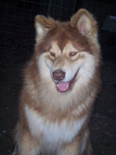 Native American Indian Dog - Quite possibly our next dog...difference between this and a husky and a malamute...NAID's are hypoallergenic! That means i wont have issues! :P