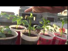 How to take dahlia cuttings II How to II grow Dahlia II easy way to prop...