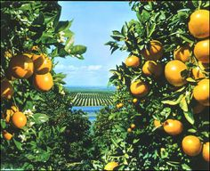 A citrus grove with lemons, oranges, limes and grapefruits