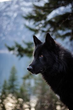 A Beautiful Alaskan Noble Companion Dog ~ Wild and Bold looking, like the Wolf, but without any of the menacing characteristics.