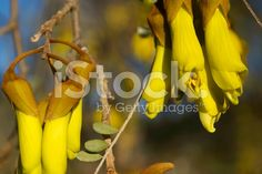 New Zealand Native Kowhai Bloom, Spring royalty-free stock photo Spring Images, Spring Photos, Golden Flower, Flower Photos, Image Now, New Zealand, Nativity, Royalty Free Stock Photos, Bloom