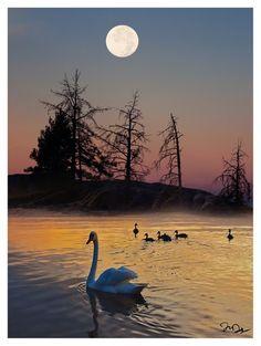 Swans at sunset moon
