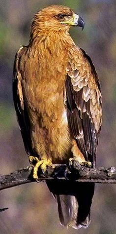 Birds of Prey - Steppe Eagle in South Africa.(Aquila nipalensis) (