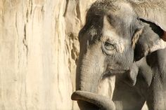 Help Free Lucky the Elephant Who's Lived in Captivity 53 Years.Lucky the elephant shuffles and sways in the San Antonio Zoo