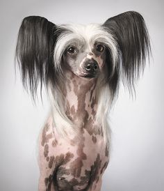Chinese Crested Dog art portraits, photographs, information and just plain fun. Also see how artist Kline draws his dog art from only words at drawDOGS.com #drawDOGS http://drawdogs.com/product/dog-art/chinese-crested-dog-portrait-by-stephen-kline/