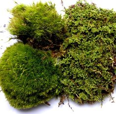 Moss of the month club memberships. Choose a or 12 month with shipping included. Assorted live moss and lichens every month. Buy Terrarium, Large Terrarium, Terrarium Supplies, Moss Terrarium, Types Of Moss, Sandwich Bags, Photosynthesis, Live Plants, Herb Garden