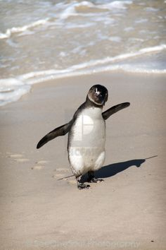 Image result for african penguin feet African Penguin, Penguins, Animals, Image, Animales, Animaux, Penguin, Animal, Animais