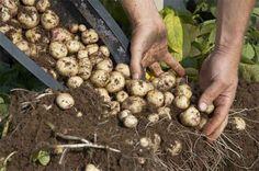 Récoltez les pommes de terres qui ont poussé dans le tonneau