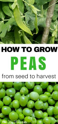 How to Grow Peas in