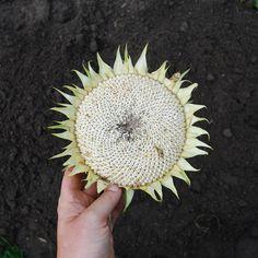 sunflower anja mulder