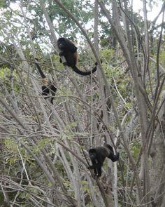 Howler Monkeys, hanging around, Costa Rica