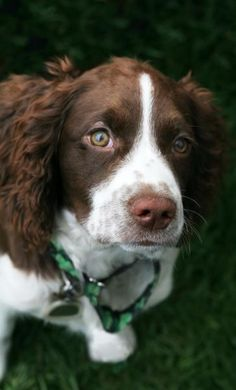 this beautiful Springer Spaniel reminds me of one of my best friends in the world, miss you coke