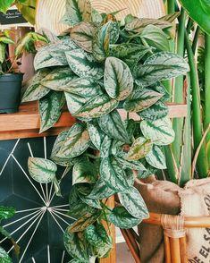 epipremnum Silver Satin #pothos Water Plants, Garden Plants, Indoor Plants, Dorm Plants, Pothos Plant, Green Life, Plant Design, Plant Care, Houseplants