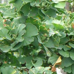 Miłorząb dwuklapowy 'Troll' (Ginkgo biloba 'Troll') | sklep internetowy Euro Ogród Troll, Euro, Plant Leaves, Plants, Planters, Plant, Planting