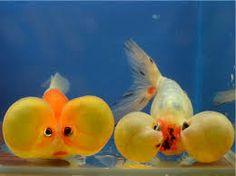 bubble eye goldfish Bubble Eye Goldfish, Aquarium Fish, Fish Aquariums, Types Of Gold, Deep Sea Fishing, Beautiful Fish, Nature Animals, Betta Fish, Beautiful Creatures