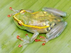 """This pregnant frog with translucent skin is one of five """"lost""""amphibianspecies recently rediscovered inthe Democratic Republic of the Congo."""