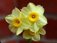 Double Daffodil Narcissus /'Albus Plenus Odoratus/' White Fragrant Bulbs 5 10 25
