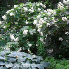 Hydrangea and hosta in Central Park. White garden companions.