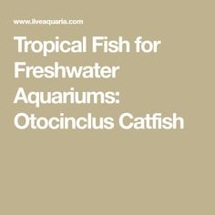 Tropical Fish for Freshwater Aquariums: Otocinclus Catfish