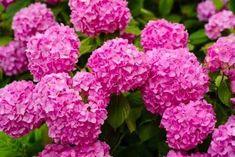 7 επικίνδυνα φυτά που δε θα πρέπει να έχετε στο σπίτι - Με Υγεία Color Rosa, Nerium, Seeds, Planters, Rose, Nature, Gardening, Gardens, Hydrangeas