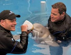 A baby beluga being bottle fed.