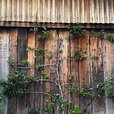 glenmore house - espaliered fruit tree Espalier Fruit Trees, Garden Trellis, Botany, Cherry Blossom, Outdoor Structures, Instagram Posts, Flowers, Plants, Peace