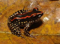 Yellow spots, orange stripes: vivid new frog species discovered in Malaysia