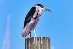 Black Crowned Night Heron - An adult black crowned night heron watching over juveniles along the mouth of Dog River, in Mobile, AL