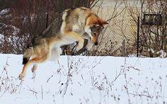 Czechoslovakian Wolfdog Stock by *Czertice on deviantART