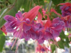 Fuchsia Baskets from Starts | Sprouting Off