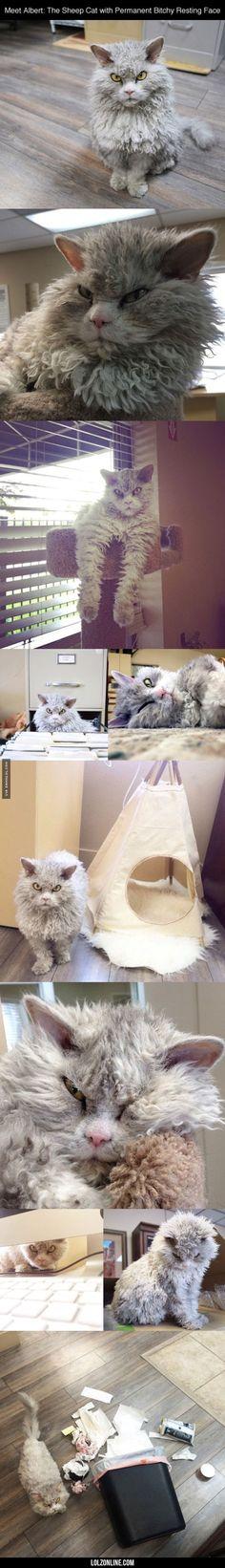 Sheep Cat #lol #haha #funny