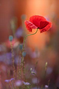 4b1e080d8820 Steve Moore - 1X Photo Coquelicot, Coquelicot Fleur, Fleur De Pavot, Belles