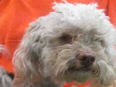 ~ Animal ID #A1557734 ‒ I am a Male, White Miniature Poodle mix. The shelter thinks I am about 2 years old. I have been at the shelter since May 23, 2015. East Valley Animal Care and Control Center Telephone ‒ (888) 452-7381 14409 Vanowen Street Van Nuys, CA Fax: (818) 756-9110 https://www.facebook.com/OPCA.Shelter.Network.Alliance/photos/pb.481296865284684.-2207520000.1432762911./826083457472688/?type=3&theater
