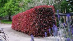 32 Best Large Hedges Images Hedges Plants Shrubs