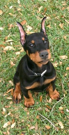 I Love all Dog Breeds: 5 Most of protective dog breeds The reason for breeding Doberman was to protect. That's the reason that these dogs are amazingly protective. Loyal Dog Breeds, Loyal Dogs, Doberman Pinscher Dog, Doberman Dogs, Dobermans, Dogs Pitbull, Doberman Funny, Cute Puppies, Cute Dogs