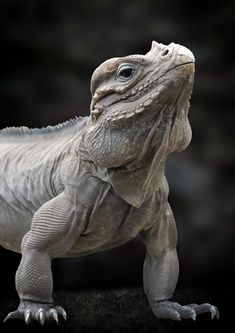 Rhinoceros Iguana.  The rhinoceros iguana is a threatened species of lizard in the family Iguanidae that is primarily found on the Caribbean island of Hispaniola, shared by the Republic of Haiti and the Dominican Republic.