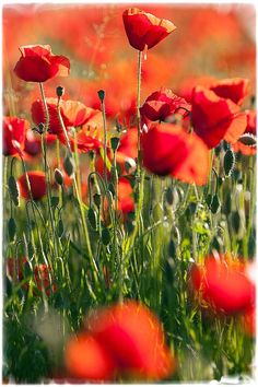 Poppies by Fulvio Fusani on 500px