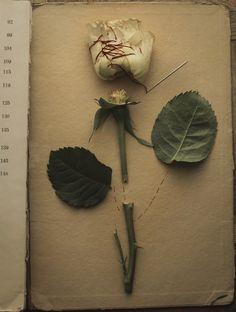 "The Rose from ""The Botany Lesson"" series / Still life  Photographer: Magdalena Franczuk / http://magdalena.franczuk.strkng.com  Poland / Łódź/Wrocław    #Still_life #Poland #Łódź/Wrocław #bestof #international #contemporary #photography #strkng #strkng_stream"